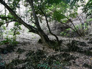 Una imagen de un árbol en el bosque en Vendo Lote 2700 mts Santa Fe  de Ant al lado del Gaitero